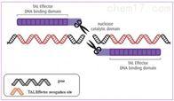 基因敲除技术