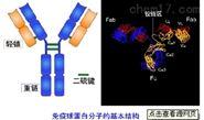 Anti-COQ7抗體,輔酶合成加氧酶COQ7抗體