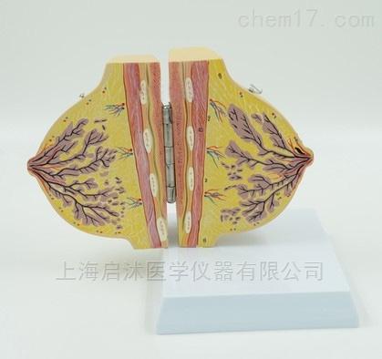 QS/A1152静止期女性乳房解剖模型