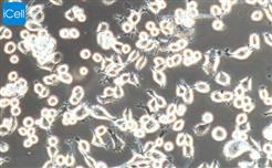 H9C2大鼠心肌细胞