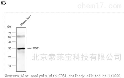Anti-CD81 Polyclonal Antibody