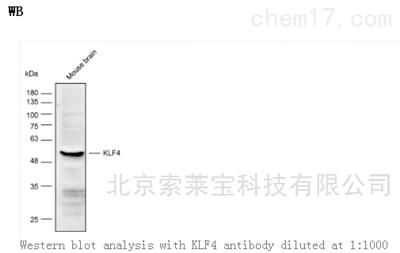 Anti-KLF4 Polyclonal Antibody