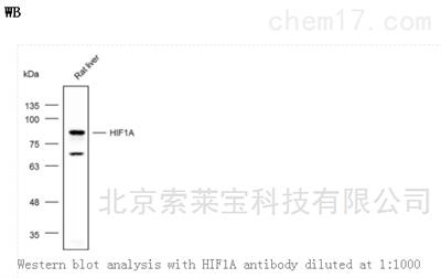 Anti-HIF1A Polyclonal Antibody