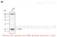 K000452PAnti-BAG2 Polyclonal Antibody