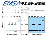 凝胶迁移或电泳迁移率EMSA