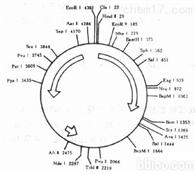 分子克隆和质粒载体构建服务