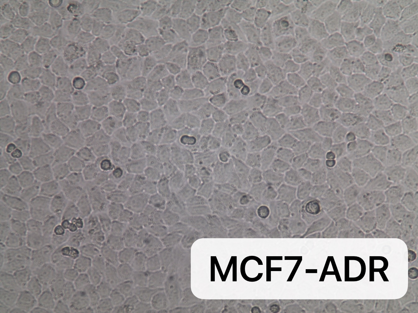 人乳腺癌细胞耐阿霉素细胞株MCF7/ADR