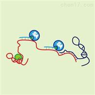 RNA反义纯化(RAP) 实验服务