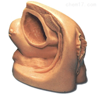 KA1/A2女性导尿外生殖器模型