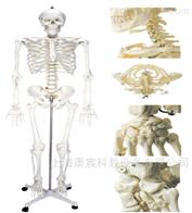 KAC/A11101/1男性人体骨骼模型