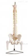 KAC/126自然大脊椎附骨盆、半腿骨模型