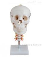 KAC/135头颅骨带颈椎模型