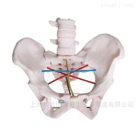 BIX/F24骨盆模型