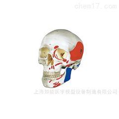 头颅骨肌肉着色模型
