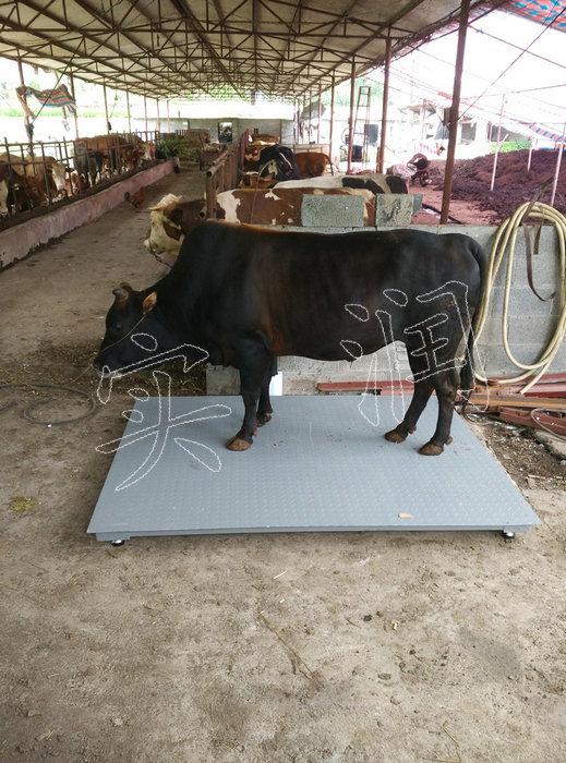 称牛电子磅秤