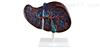 ZK/XC-312肝解剖模型